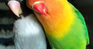 دانلود صدای مرغ عشق مخصوص جفتگیری و تحریک